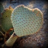 jan29heart-cactus