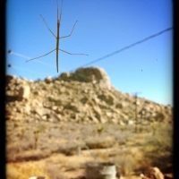 dec132013jon-identified-our-first-desert-bug-a-walking-stick-bug-they-might-be-in-long-beach-too-but-i-never-saw-one-there