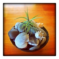 dec26kitchen-table-centerpiece-rocks-and-shells-gathered-from-past-travels-and-the-air-plant-was-a-christmas-gift-from-a-hi-desert-coworker