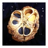 dec31joshua-tree-seed-pod-it-rattles-when-you-shake-it