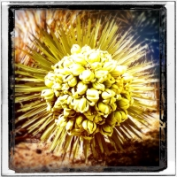 march5big-fat-joshua-tree-blossom-thanks-for-the-field-trip-rae-packard