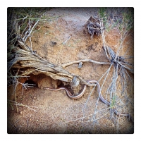 may24just-saw-our-first-desert-rosy-boa-so-cool